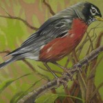 Coloured pencil drawing of American Robin on branch