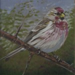 Coloured pencil drawing of Common Redpoll on branch