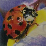 Coloured pencil drawing of Ladybug on flower petal