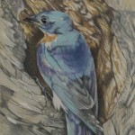 Coloured pencil drawing of Eastern Bluebird