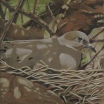 Coloured pencil drawing of a Mourning Dove on nest