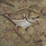Coloured pencil drawing of Plover with three eggs