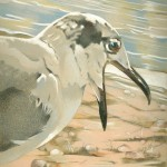 Coloured pencil drawing of Laughing Gull