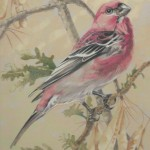 Coloured pencil drawing of Pine Grosbeak Grosbeak
