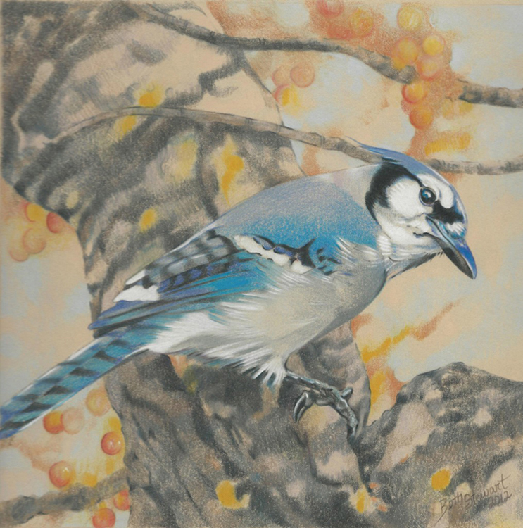 Illustration of a Blue Jay facing right