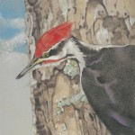 Coloured pencil illustration of a Pileated Woodpecker on tree