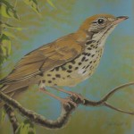 Coloured pencil drawing of a Thrush