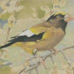 Coloured pencil drawing of Evening Grosbeak
